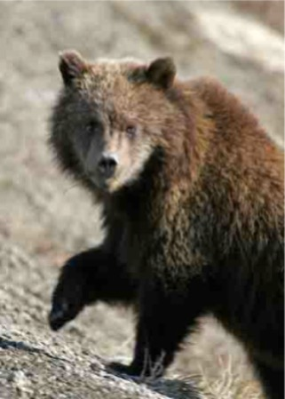 Toklat grizzly bear images - boliglova instagram pictures