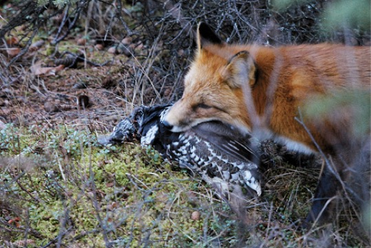fox has just caught this grouse in a photo by Jimmy TohillAnimal Predators And Prey